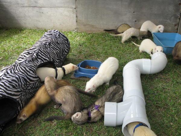 four-and-twenty-ferrets1